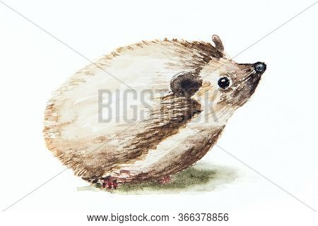 Watercolor Drawing Of The Hedgehog Isolated On The White Background. Illustration Of Brown Hedgehog