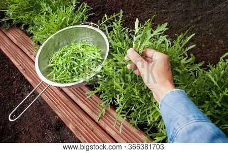 Woman harvesting arugula leaves plant growing in the garden