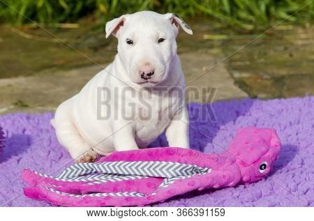 White Bull Terrier Puppy Sitting With Toys And Playing Outside