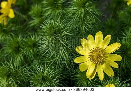 Flowering Of Adonis Vernalis, Known As Adonis, Pheasants Eye, The Eye Yellow Pheasant
