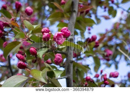 Abundance Of Pink Blossoms Densely Covering Apple Tree Branches Of The Background Of The Blue Sky An