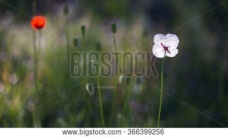 Morning Poppy Buds Bloomed.wild Poppy.textured, Close-up Poppy Freshness.white Opposite Red Poppy.af