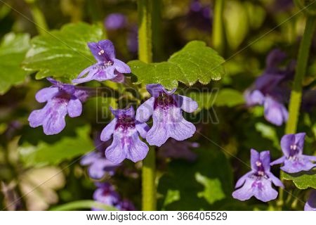 Flower Of The Ground Ivy Glechoma Hederacea, Lamiaceae, Growing In The Garden. Close Up