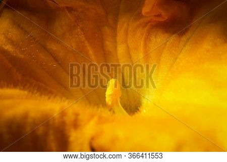 Big Yellow Zucchini Flower Plant In Vegetable Garden. Flower In The Sunlight Close-up