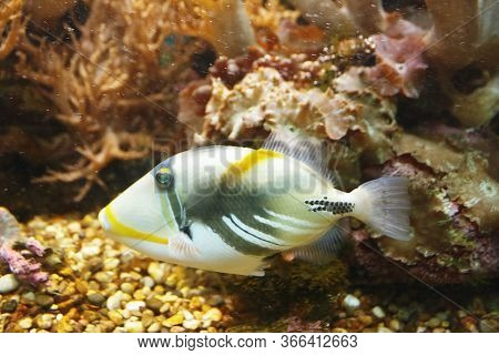 Beautiful Lagoon Triggerfish (rhinecanthus Aculeatus), Also Known As The Blackbar Triggerfish, Picas