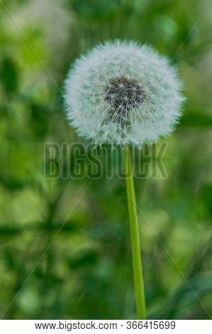 Macro Of A Single Untouched Dandelion Flower, Vertical Color Photo