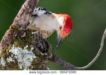 Curious Red-bellied Woodpecker Perched In A Tree