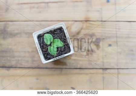 Young Okra Or Lady Fingers Seedling In White Nursery Pot On Wooden Table With Copy Space