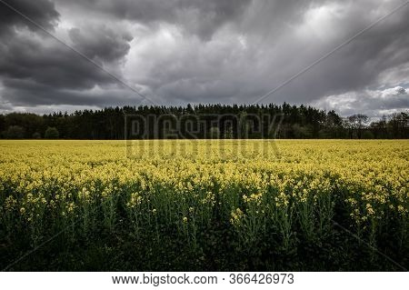 Full Field Yellow Oilseed Rape Flowers And Green Crops, Growing In A Field With Dark Clouds