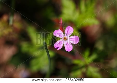 A Tiny Pink Herb Robert Wildflower In Woodlands