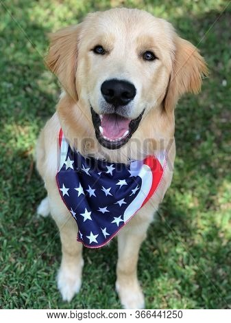 Golden Retriever - Fourth Of July Pup