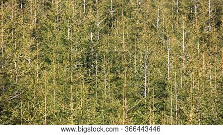 Young Small Trees During A Sunny Day Closeup, Jeseniky, Czech Republic