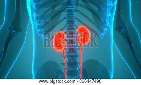 3D Illustration Concept of Human Urinary System Kidneys with Bladder Anatomy