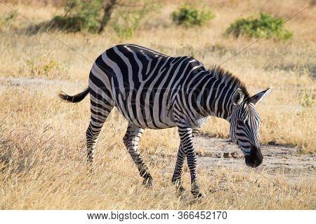 Zebra Close Up, Tarangire National Park, Tanzania, Africa. African Safari.