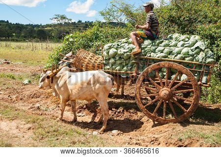 Bagan Myanmar - November 1 2013; Peasant Farmer Drives Ox-cart Loaded With Cabbages Sitting On Top O