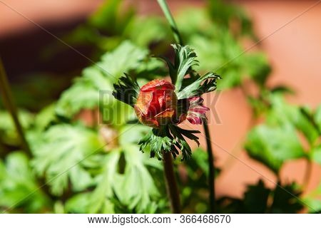 Flower Buf Of Red Anemone Coronaria, Known As The Poppy Anemone, Spanish Marigold, Or Windflower In