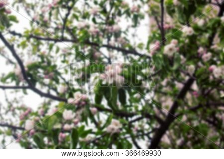 Pink Apple Tree Flowers And Water Drops, Blurrred Background
