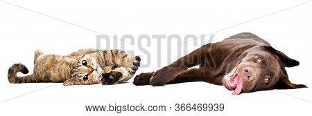 Funny Cat Scottish Straight And Labrador Puppy Lying Together Isolated On White Background