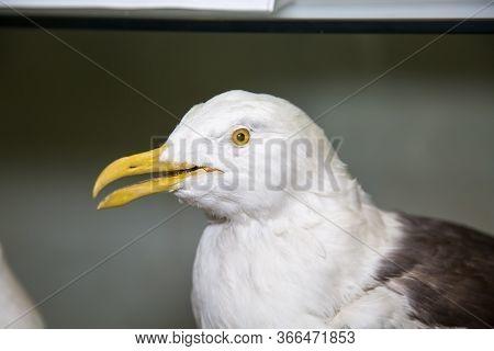 Portrait Of A Beautiful Bird Gull (larus Fuscus) On A Gray Background, Stuffed. Animals, Birds, Orni
