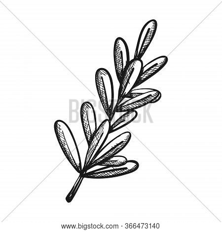 Twig With Leaves. Sage As A Seasoning In Cooking. Botanical Decoration For Menu Design, Recipes, Foo