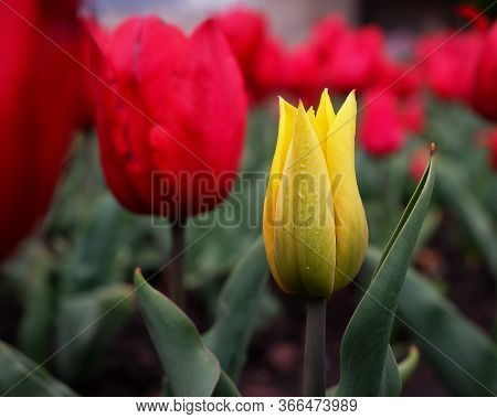 One Bright Yellow Tulip Growing Among A Field Of Red Tulips. A Flowery Background Of Dutch Tulips Bl
