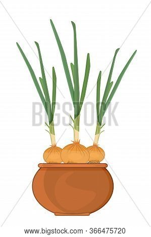 Onion In Pot Isolated On White Background. Cultivation Of Green Onions On The Windowsill. Sprout Bro