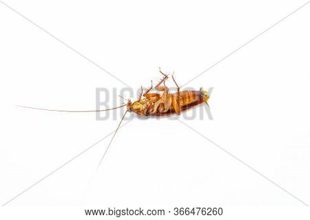 A Dead Cockroach On White Background, Concept The Problem In The House Because Of Cockroaches Living