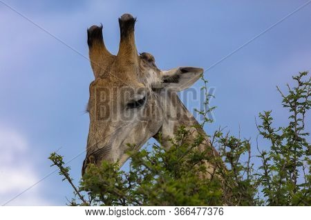Head Shot Of A Giraffe Feeding On A Tree In Africa