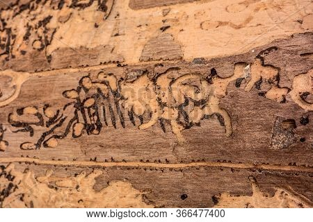 Traces Of A Pest On A Tree Bark Closeup. Damaged Wood By Bark Beetle. Tree Bark Destruction By Insec