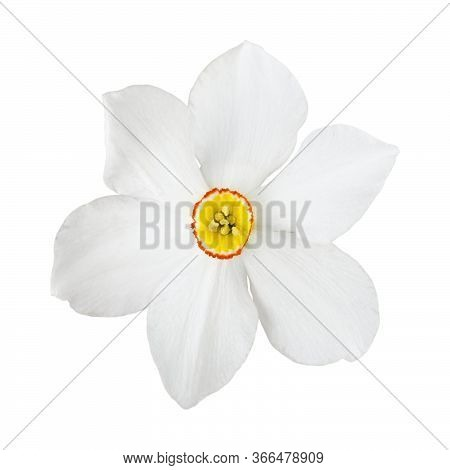 White Narcissus Flower Isolated. Item For Decoration, Greeting Cards, Packaging, Scene Creator, Othe