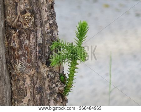Fresh Green New Shoot On Pine Tree In Andalusian Village Park