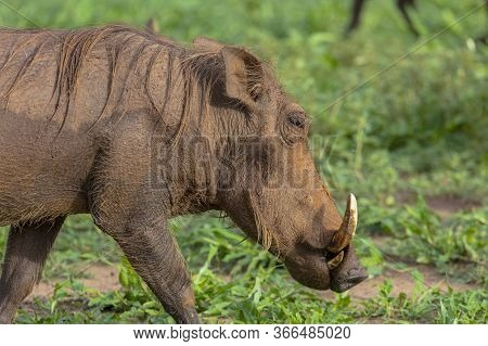 Close-up Of A Single Warthog In A Forest Clearing In Zimbabwe