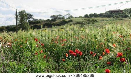 Red Poppies Growing In Barley Field
