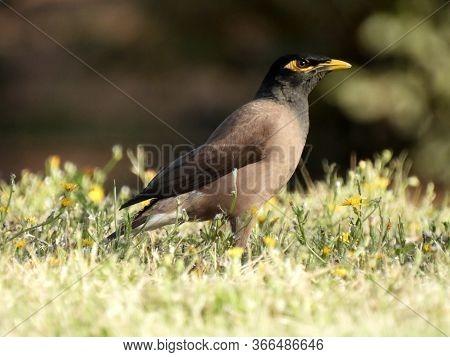 Myna  Bird Afghan Starling Detachment Passeriformes Starling Family
