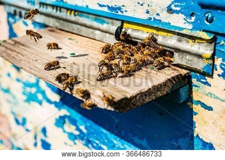 Close Up Of Flying Bees. Wooden Beehive. Plenty Of Bees At The Entrance Of Old Beehive In Apiary. Wo