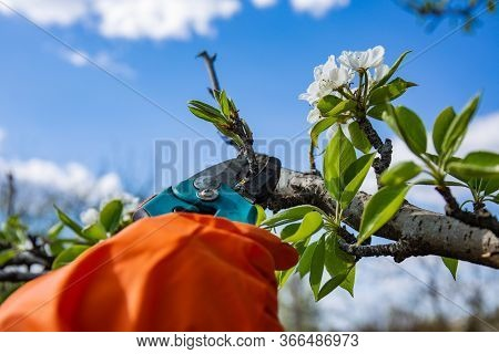 A Gardener In A Protective Orange Rubber Glove On Sunny Spring Day Cuts Off With A Sharp Powerful Pr