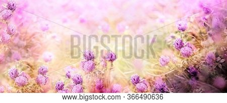 Wild Red Clover, Flowering Clover In Meadow, Beautiful Landscape In Spring