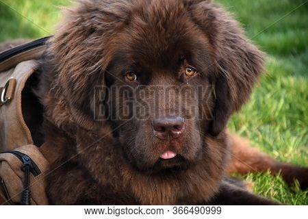 Looking Directly Into The Face Of A Brown Newfie Pup.