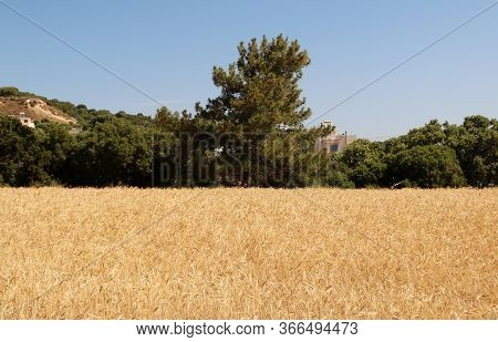 Ripe Barley Filed. Harvest Time. Spikes Of Barley Close Up View. Natural Rural Landscape. Selective