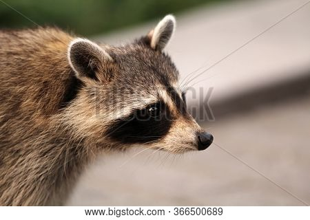 Profile of  a curious Racoon crossing the street