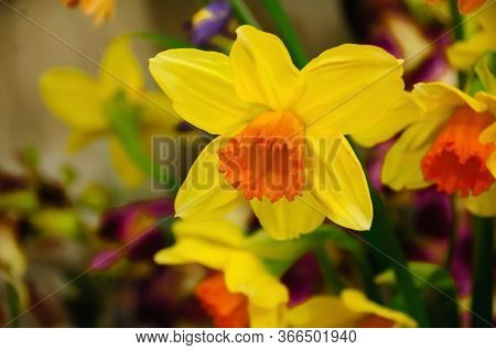 Yellow Narcissus . Daffodil On A Green Background. Spring Flower Daffodil Narcissus ,