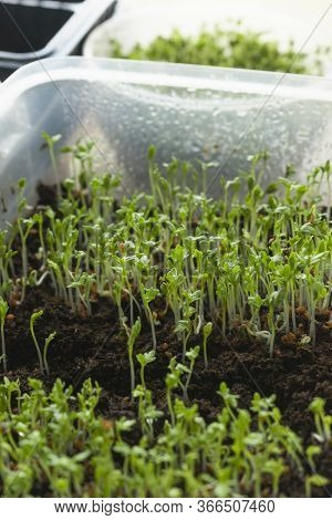 Young Seedlings Of Watercress Salad On The Windowsill By The Window. The Bright Sun Shines Through T