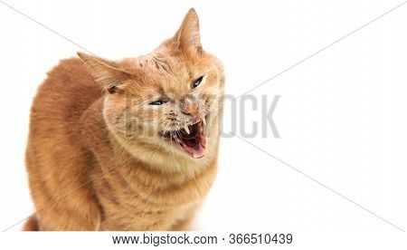 The Red Cat Opened His Mouth. Cats Teeth. Angry Cat Is Isolated On A White Background. Yawning Cat.