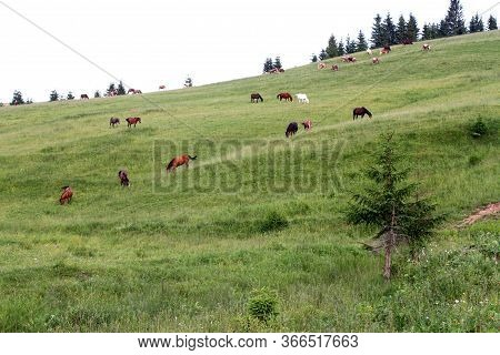 Cows And Horses Graze In An Alpine Meadow On A Slope Among Fir Trees In The Mountains