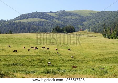 Cows Graze On An Alpine Meadow Among Fir Trees In The Mountains. Mountains And Slopes In The Backgro