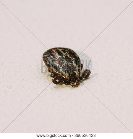 Dermacentor Reticulatus On White Background. Also Known As The Ornate Cow Tick, Ornate Dog Tick, Mea