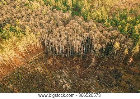 Aerial View Green Pine Forest In Deforestation Area Landscape. Top View Of Fallen Woods Trunks And G