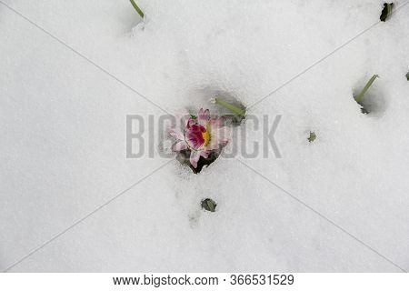 Close Up Of The Frozen Flower Covered In Snow In Lithuania. Europe, 12 May 2020. Climate \\r Change