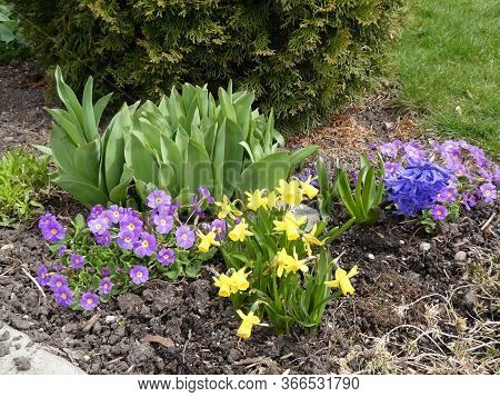 Daffodils And Primroses Flowers On Thr Flower Bed