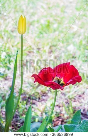 Young Yellow And Withered Red Blooming Tulip Flowers. Macro.